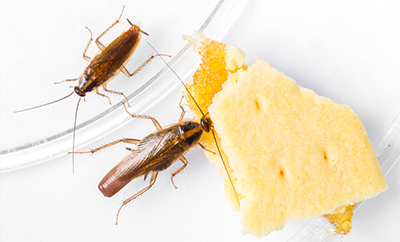 two german cockroaches eating a cracker